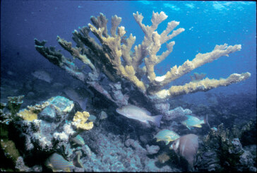 Protecting Elkhorn Coral