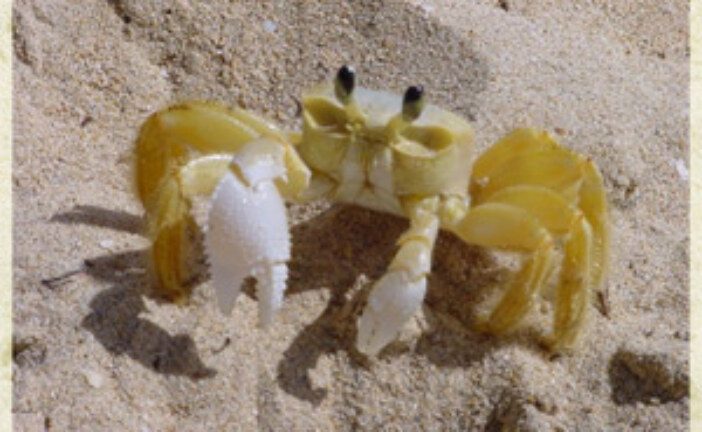 Ghost crab busters