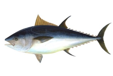 Atlantic Bluefin Tuna: A precipitous decline