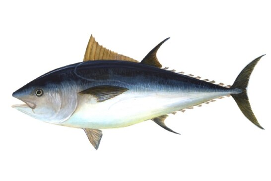 Atlantic Bluefin Tuna: A precipitous decline