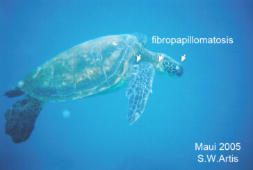 The most important health problem affecting sea turtles today
