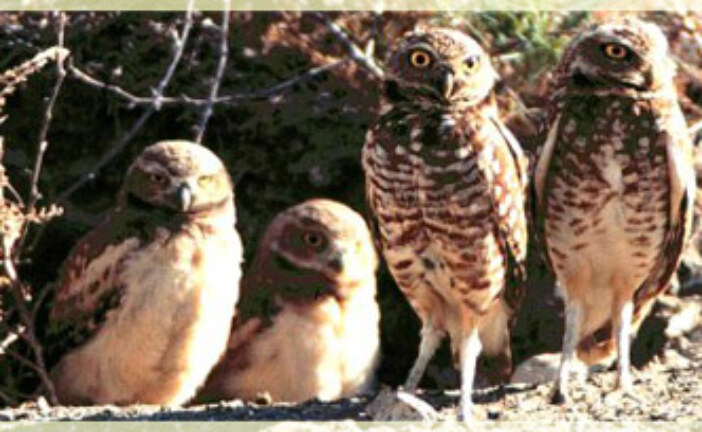 Burrowing Owls and Manifest Destiny