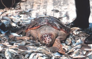 Loggerhead Sea Turtle Bycatch