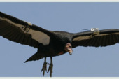 Full of lead…our California condors