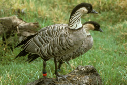 Endangered Hawaiian Geese