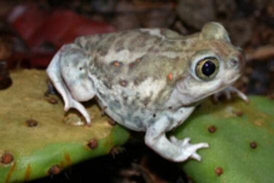 Amphibians in Crisis
