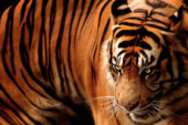 Tigers: Panthera tigris