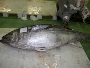 atlantic_bluefin