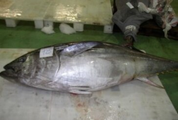 Atlantic Bluefin Tuna Landings