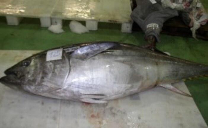 Atlantic Bluefin Tuna Landings