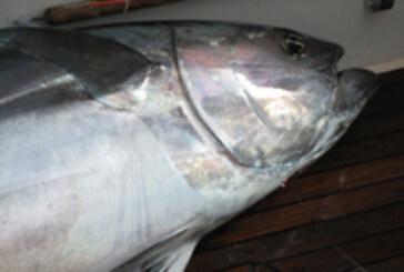 Bluefin Tuna Landings