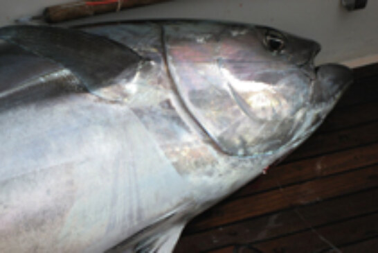Bluefin Tuna Landings