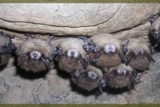 Bat Fungus Epidemic