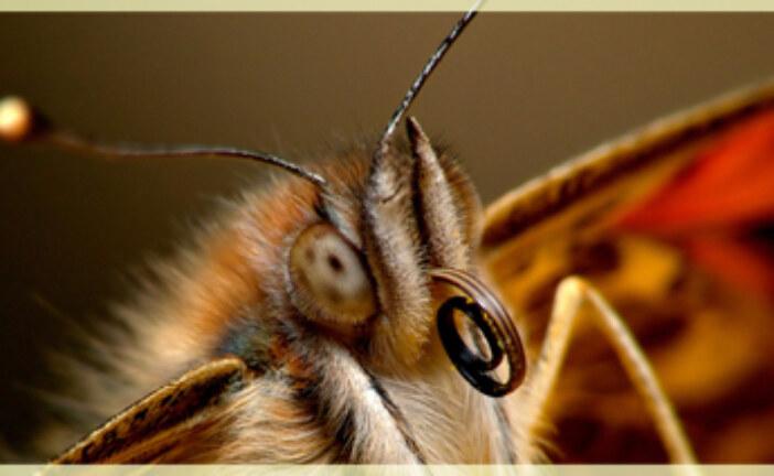 Not so widespread butterflies