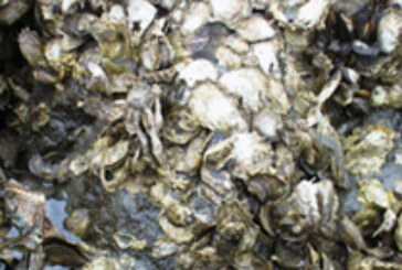 Vanishing Oyster Reefs