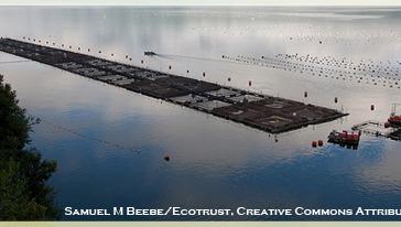 Sea-cage pathogen factory: Salmon and Sea Lice