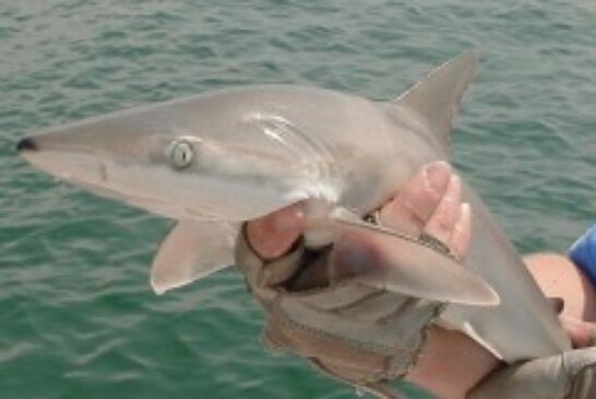 Changing the status quo for coastal sharks