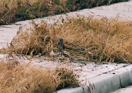 Burrowing Owl- Sidewalk burrow