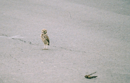 Burrowing owl in the middle of street