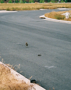 Burrowing Owl in the street