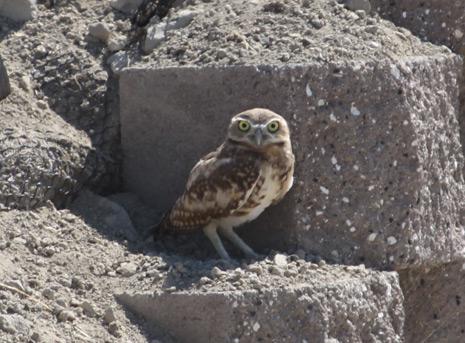 Burrowing owl on wall