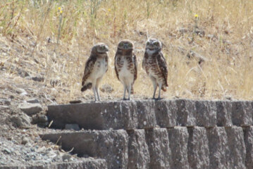 Burrowing owls in a den of iniquity