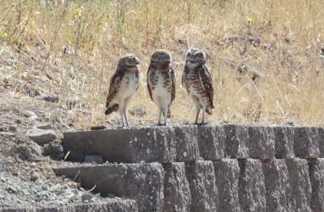 3 Burrowing Owls on a wall