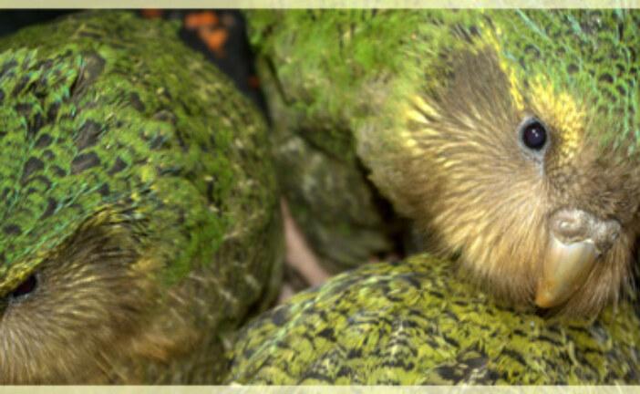 The critically endangered, world's heaviest, flightless parrot returns home