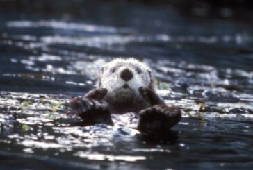 Sea Otter Decline: Perhaps Pollution and Overfishing