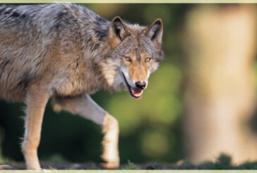 Wolves – An Inconvenient Species?