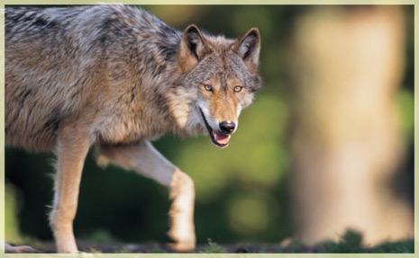Wolves – An Inconvenient Species?