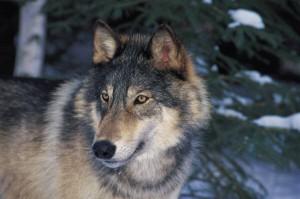 wolf_gray1