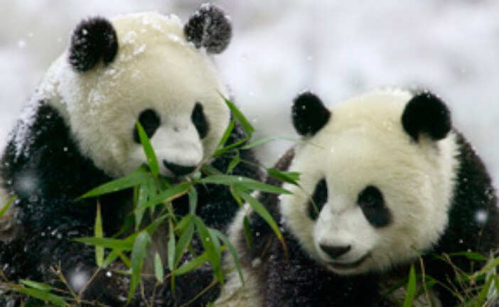 Pandas: Constrained by Evolution and Habitat Loss