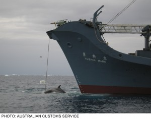 australiancustoms-whalinginthesouthernocean_2