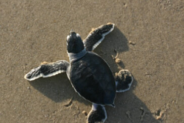 Hope for small sea turtle populations