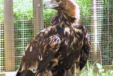 The cheaper sex and extinction…for Imperial Eagles