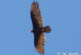 Don't overlook the Turkey Vulture