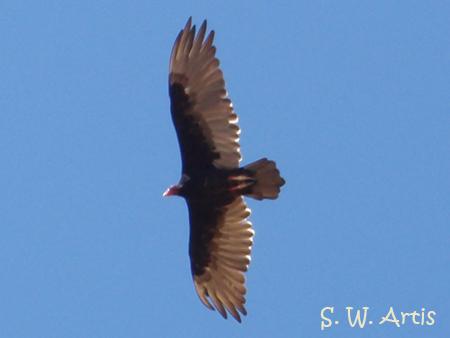 Don't overlook the Turkey Vulture