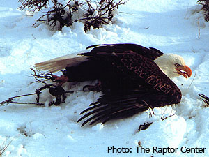 Eagle trapped with leghold