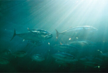Atlantic Bluefin Tuna in Serious Trouble