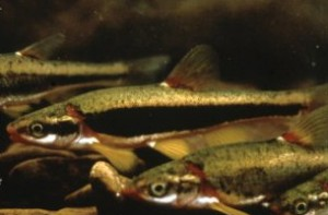 blackside dace