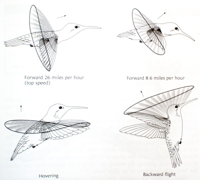 In forward flight, the wings beat vertically to generate forward thrust.  In hovering flight, the wings beat horizontally in the pattern of a flattened figure eight. To fly backward, the hummingbird tilts the angle of wing action to create rear-directed thrust. (Greenewalt)
