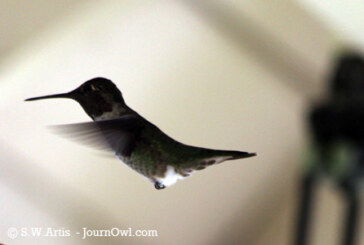 A Plethora of Black-Chinned Hummingbirds
