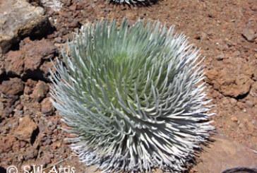 Haleakala Silversword: Life on an island volcano