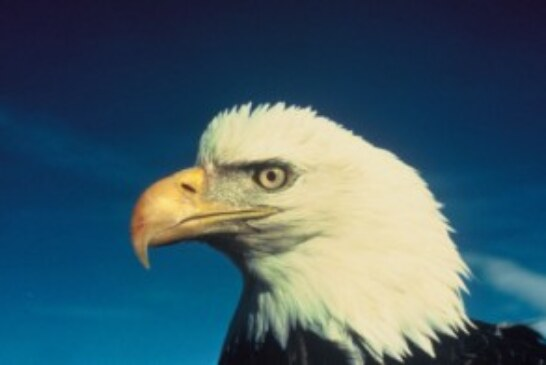 Bald Eagle Breeding Pairs in Lower 48 States