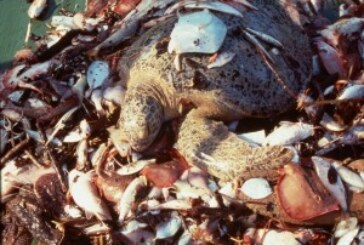 Sea Turtle Advocates and Shrimpers Sue over Deaths of Endangered Sea Turtles