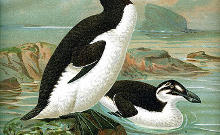 The Great Auk…A Poetic Extinction