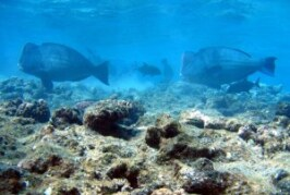 Declining Parrotfish Instill Hope but Highlight Human Flaw