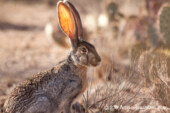 Saguaro National Park: My whirlwind encounter with desert birds and the West's largest hare