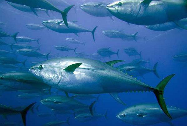 Photo: Captive bluefin tuna inside a transport cage.  Credit: Gavin Newman / European Pressphoto Agency